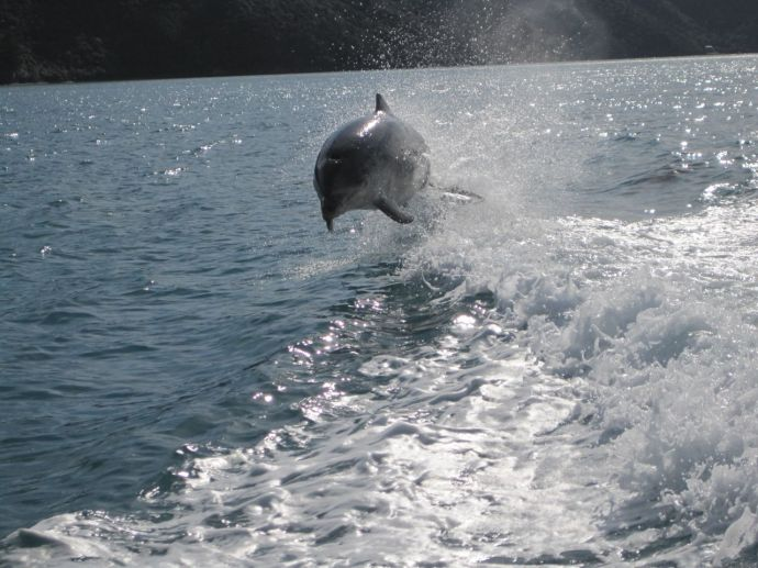 A jumping dolphin in Marlborough Sounds
