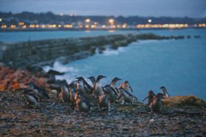 Oamaru Penguin Colony Photograph