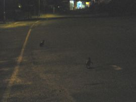 Penguins crossing the road!