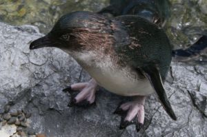 Blue penguin close up