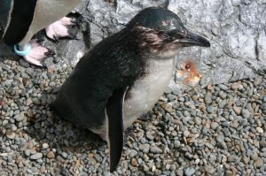 Little blue penguin close up