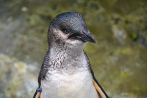 Blue penguin head