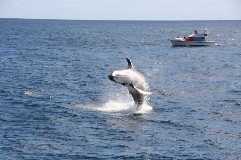 Breaching whale in Bay of Islands