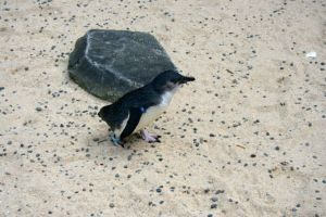 Blue penguin on sand