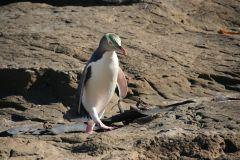 Yellow-eyed penguin walking