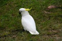 Cockatoo in the wild