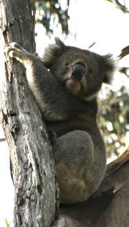 Koala in the wild at Kennet River