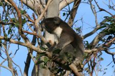 Koala on Lighthouse road