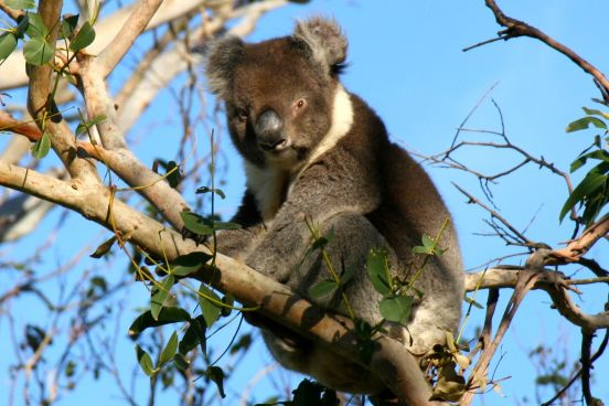 Amazing koala in the wild
