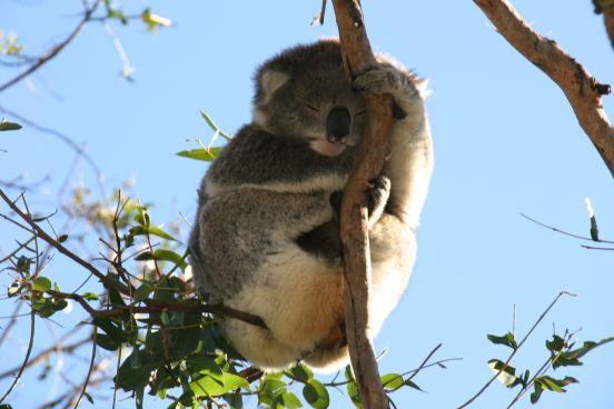 Koala hanging on