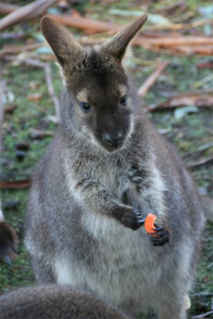 Lovely wallaby