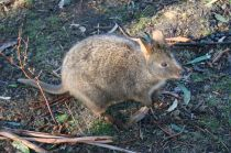 Little pademelon