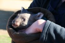 Baby wallaby Ralph