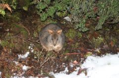 Pademelon in the wild