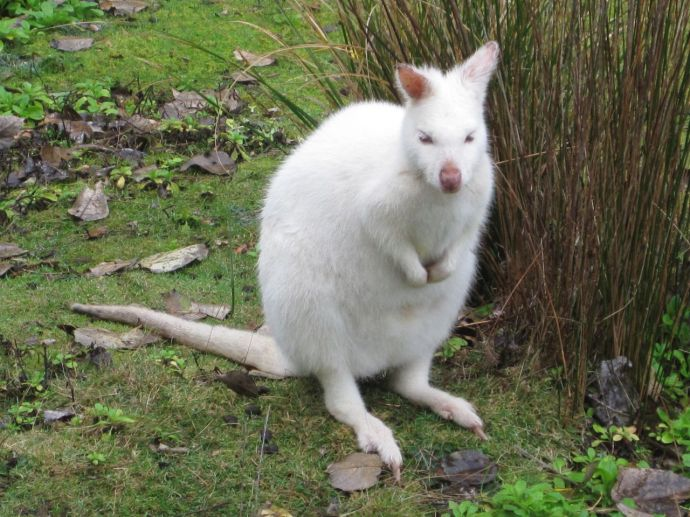 Rare albino wallaby on Bruny Island
