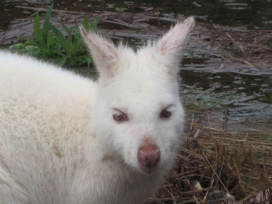 Amazing albino wallaby
