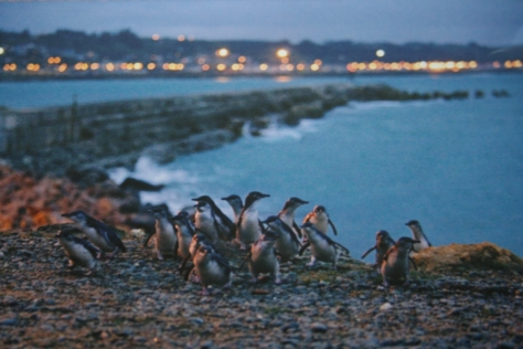 Image copyright of Oamaru Blue Penguin Colony