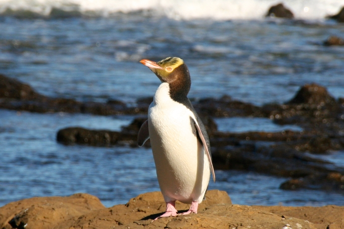 Yellow-eyed penguin in the wild